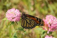 2018 Monarch Butterfly 041 - Danaus Plexippus (Chrisser) Tags: insects insect butterflies butterfly monarch danausplexippus nature ontario canada canoneosrebelt6i canonef75300mmf456iiiusmlens nymphalidae