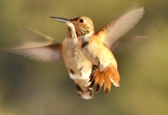 """Rufous Hummingbird in Ramona, California on September 19, 2018 (Ramona Pioneer Girl) Tags: endofsummer rufoushummingbird birding bird birdinflight rufous hummingbirds hummingbird bestofnature 500 views panasonic lumix camera photograph photography lens f28 picture pictures kodak """"kodak moment"""" kodakmoment potd photo day trend trending current flickr nature natural moment moments candid usa 2018 water sky street historic town country east county clouds sun fun hobby interest interests ramona california photooftheday photographs fz300"""