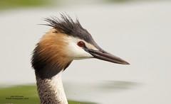 Great Crested Grebe (Alan McCluskie) Tags: greatcrestedgrebes grebe podicepscristatus lake pond waterbirds birds aves oiseaux canon7dmk2 sigma150600mmsp ukwildlife nature