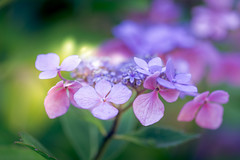 Pink or Blue? (Lindsey1611 (off for a while)) Tags: flower summer hydrangea garden pink blue confused