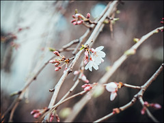 Blossoms (David Panevin) Tags: 西新宿 nishishinjuku 新宿区 shinjuku 東京 tokyo japan olympus omd em1 mzuikodigitaled45mmf18 street trees flower flowers nature plants blossoms sakura urbanfragments bokeh bokehlicious davidpanevin