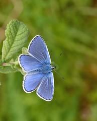 Common Blue (davidsims881) Tags: commonblue polyommatusicarus