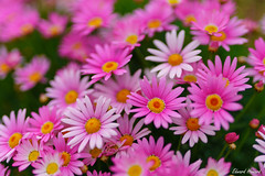 Shades of pink (edzwa) Tags: sydney newsouthwales australia au pink pinkflowers flowers flower bokehlicious bokeh garden sigma sigma50mm14art closeup