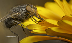 Petals (stevenbailey7) Tags: fly flies diptera insects closeup yellow flower petals august wildlife flora nikon tamron pose detail walesinsects welshinsects flickr garden colour colourful arthropod nacrophotography naturphotography natgeo entomology invertebrate shot top cool