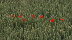 2018_07_0269 (petermit2) Tags: poppies poppy wheat field northcavewetlands northcave brough eastyorkshire eastridingofyorkshire yorkshire yorkshirewildlifetrust ywt wildlifetrust wildlifetrusts