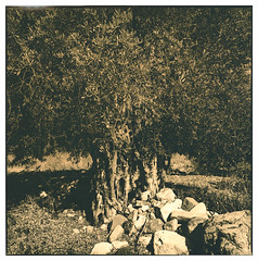 Olive tree (Mark Dries) Tags: markguitarphoto markdries hasselblad500cm distagon 50mmf40 wideangle ilfordfp4 lith lithprinting easylith moersch 332 cyprus