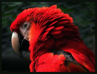 004323 Scarlet Macaw as seen in Planckendael Zoo Belgium (Photo by Reinier Mensink)