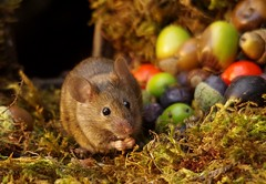 wild garden house mouse with nuts and berries  (1) (Simon Dell Photography) Tags: wild garden house mouse nature animal cute funny fun moss covered log pile acorns nuts berries berrys fuit apple high detail rodent wildlife eye ears door home sheffield ul old english country s12 simon dell photography food tree