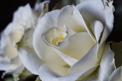 DSC_1436 (PeaTJay) Tags: nikond750 sigma reading lowerearley berkshire macro micro closeups gardens indoors nature flora fauna plants flowers bouquet rose roses rosebuds