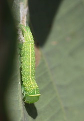 """""""Pseudoips prasinana"""" - zilveren groenuil (bugman11) Tags: zilverengroenuil bug bugs pseudoipsprasinana nature green insect insects caterpillar caterpillars fauna canon nederland thenetherlands rheden animal animals macro 100mm28lmacro leaf leaves"""