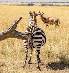 Cheeky Zebra relieves an itch while a curious Topi looks on (frankmetcalf) Tags: maasai zebra eastafrica kenya maasaimara savannah grassland topi tree scratching