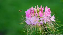 Incoming! (umakantht) Tags: nikon nikon180mmf28 d750 bee flower green honey bokeh nature plant