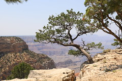 Growing on the edge (Sven Bonorden) Tags: grandcanyon southrim arizona trees bäume felsen rocks green grün nature landscape natur pine pinetree kiefer