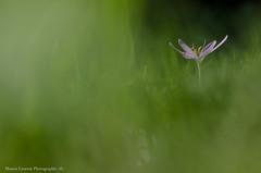 Colchique (Manonlemagnion) Tags: fleur colchique violet rose macro bokeh nature plante pelouse verdure nikond7000 105mm28