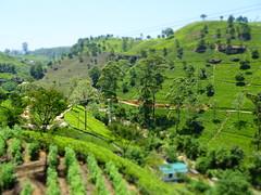 Tea plantation, Sri Lanka (lesleydugmore) Tags: teaplantation srilanka ceylon green tea outside outdoor