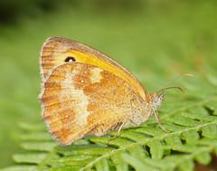 2018_07_0638 (petermit2) Tags: gatekeeperbutterfly gatekeeper butterfly hatfieldmoors hatfield lindholme doncaster southyorkshire yorkshire peat bog humberheadpeatlands humberhead naturalengland nnr
