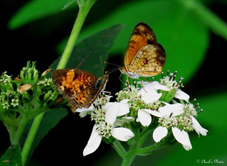 Silvery Checkerspot Butterflies