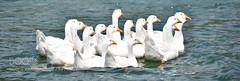 Swimming Pact (KevinBJensen) Tags: lake wading waterfowl swimming floating water mute migratory waist deep aquatic bird seabird birds recreation