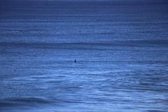 IMG_3695 (gervo1865_2 - LJ Gervasoni) Tags: surfing with whales lady bay warrnambool victoria 2017 ocean sea water waves coast coastal marine wildlife sealife blue photographerljgervasoni