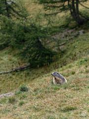 2018-09-16_9161744 © Sylvain Collet_DxO.jpg (sylvain.collet) Tags: france wild marmot marmotte nature mountains alpesdehauteprovence colmarslesalpes lacdallos montagne