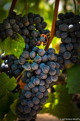 Quixote Grapes (tom911r7) Tags: grapes wine vineyards wineries napa winecountry napavalley napavinters tom911r7 tombrichta harvest winetasting
