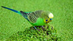 Green - 5910 (ΨᗩSᗰIᘉᗴ HᗴᘉS +22 000 000 thx) Tags: bird parrot perruche green vert oiseau nature hensyasmine namur belgium europa aaa namuroise look photo friends be wow yasminehens interest intersting eu fr greatphotographers lanamuroise