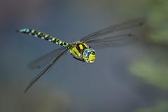 Blaugrüne Mosaikjungfer (Aeshna cyanea) 6222 (fotoflick65) Tags: blaugrüne mosaikjungfer libelle odonata dragonfly inflight flying fliegende fliegend imflug fotoflick65 leopold kepplinger 32 ds bof flash godoxtt685n st1250 st8001600 y2018 ym07 ta150600 tamronsp150600mmf563divcusdg2 tamronspaf150600mmf563divcusd blau edellibelle aeshna cyanea southernhawker d7100 nikonnaturephotography fd2b5 fl460 iso800 fl450600 f63 fd3m5 ngc specinsect austria österreich