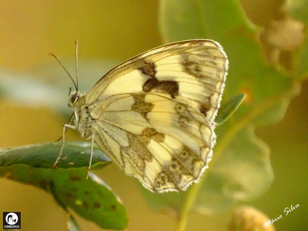 Águas Frias (Chaves) - ... borboleta singela mas elegante ...
