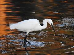 Aigrette garzette (chriscrst photo66) Tags: bird animal oiseau eau aigrette garzette reflets soleil bretagne ploumanach pêche nikoncoolpixp900