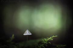 The Emerald Forest (SkyeWeasel) Tags: scotland skye macro nature mushroom fungus saprophyte forest woodland bokeh ngc npc