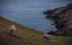 Sheep at the western tip of the Llyn Peninsula (G. Warrink) Tags: wales visitwales cymru findyourepic lovewales beautifulwales discoverwales llynpeninsula sea coast rocks water shore sheep mynyddmawrcoastguardshut