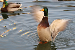 立つ (Bob90901) Tags: 立つ stand longisland newyork ducks mallard drake autumn morning rpg90901 water fowl bird canon 6d canonef70200mmf28lisiiusm canon70200f28lll waterfowl 2015 november 0730