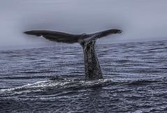 Fluke & Drips: Sperm Whale, Kaikoura, NZ (desimage) Tags: ocean kaikoura humpback whale fluke sea mammal desimage newzealand south island