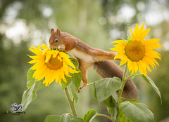 red squirrel balancing between two sunflowers (Geert Weggen) Tags: animal autumn bright bud cheerful closeup cute flower foodanddrink horizontal humor land lightnaturalphenomenon mammal moss mushroom nature perennial photography plant red rodent springtime squirrel summer sweden tasting toadstool fun fight fall couple attack young sunflower split reach geert weggen bispgården jämtland ragunda hardeko