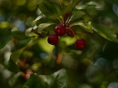 East of Eden (BeMo52) Tags: äpfel apple beeren blätter bokeh flora garten leaves macro makro malus natur nature zierapfel pentacon50mmf18 hbw