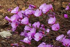 Clarkia (phoca2004) Tags: clarkia d90 devilsslide montara nikon sanmateocounty pacifica california unitedstates us flower wildflower californianativeplant nativeplant