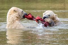 Tug of War (Maria-H) Tags: polarbear ursusmaritimus yorkshirewildlifepark yorkshire ywp uk olympus omdem1markii panasonic 100400