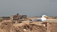 Essaouira_Seagull_AP (A.Pellegrino) Tags: sea seagull wall sky island africa morocco seafront essaouira birds
