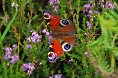 Peacock Butterfly (eric robb niven) Tags: ericrobbniven scotland peacock butterfly springwatch