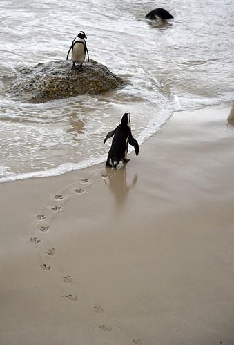 NKB_9162 penguin footsteps