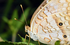 White Peacock Butterfly (Larah McElroy) Tags: photograph photography picture pictures larah mcelroy larahmcelroy bug bugs insect insects butterfly butterflies macro whitepeacock peacock white