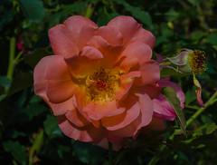 Westerland rose (frankmh) Tags: plant flower rose westerlandrose fredriksdal helsingborg skåne sweden macro