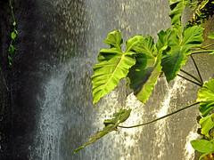 Leaves by the Waterfall (Cornishcarolin. Stupid busy!! xx) Tags: cornwall httpswwwedenprojectcom nature plants leaves water waterfall
