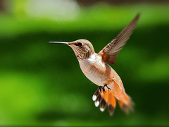 """""""Hey pal, if what you don't know can't hurt you, then you must be practically invulnerable. (Parowan496) Tags: rufous rufoushummingbird canon eos 80d canoneos80d green orange white"""