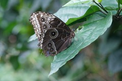 The wings have eyes. (Pouncer 2) Tags: butterfly wings insect leaf nature