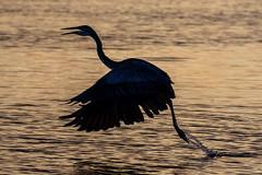 Great Blue Heron Silhouette, Water Takeoff at Sunset (dbadair) Tags: outdoor seaside shore sea sky water nature wildlife 7dm2 ocean canon florida bird bif flight heron sunset silhouette