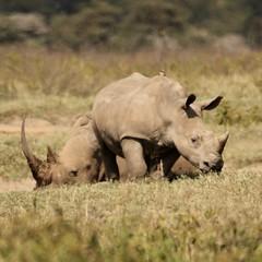 Watchful eye (Nagarjun) Tags: lakenakurunationalpark kenya eastafrica wildlife bigfive whiterhino whiterhinoceros southernwhiterhinoceros ceratotheriumsimumsimum safari gamedrive herbivore biggame