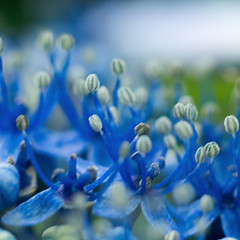 Hidrangea Flower (EXPLORED) (Francisco (PortoPortugal)) Tags: 1832018 20180703fpbo8355 macro micro hidrangea flor flower azul blue helios442 58mm adapter quadrada square franciscooliveira
