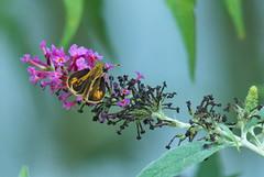 Skipper on Butterfly Bush (mmorriso2002) Tags: butterfly skipper butterflybush insect backyardhabitat nature