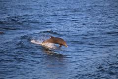 We love dancing and spinning in wild ocean! - Atlantic bottlenose Dolphins (kedar.mehta.photography) Tags: breach dolphin love ocean wildlife water
